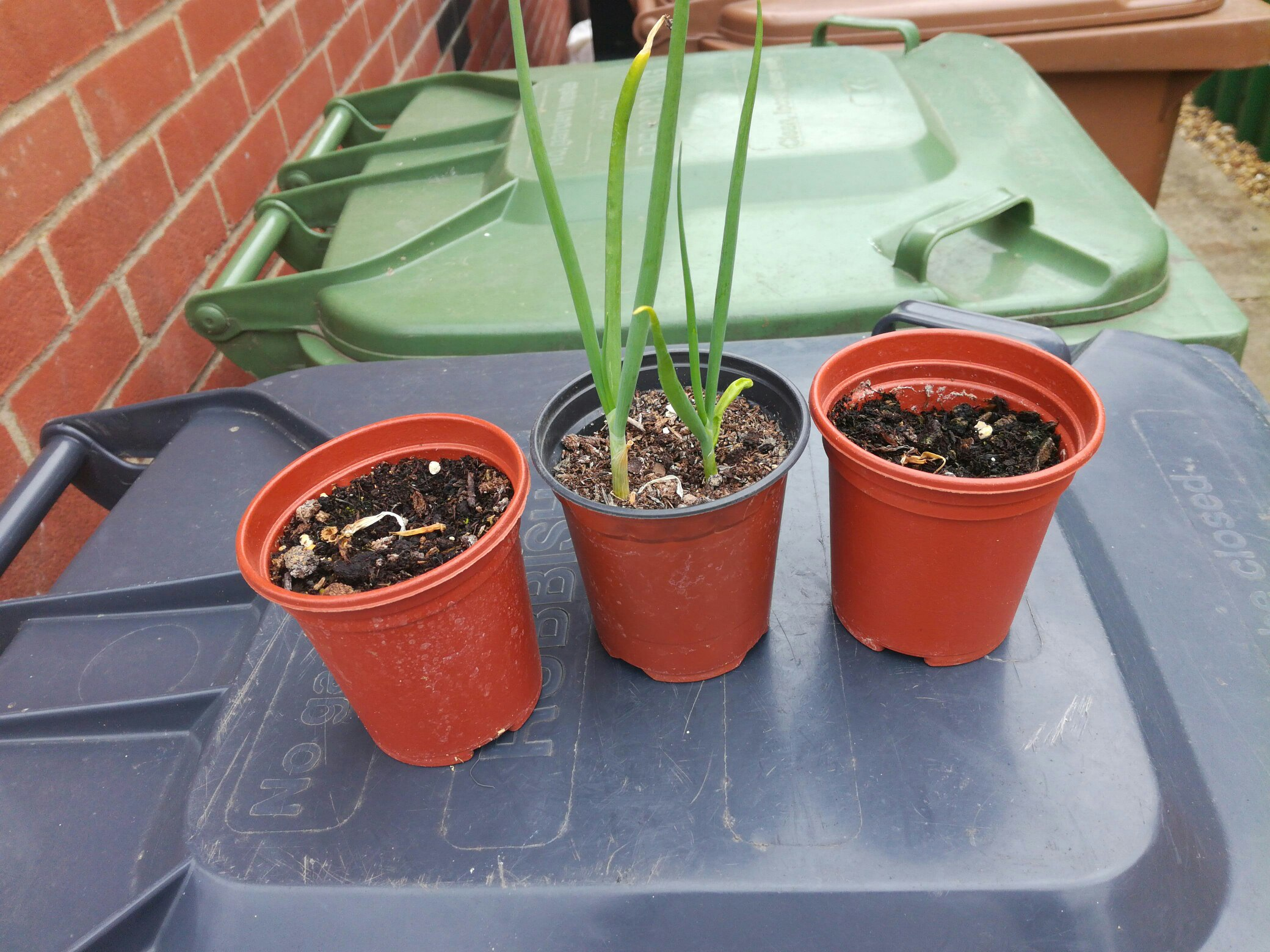Onion regrown update.jpg